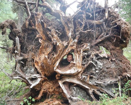 Вот такие богатыри растут в местных лесах. Фото из архива участников похода