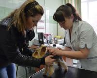 Йоркширский терьер Катя на приёме у ветеринарного врача Ксении Кокшарёвой. Фото Елены Никитиной