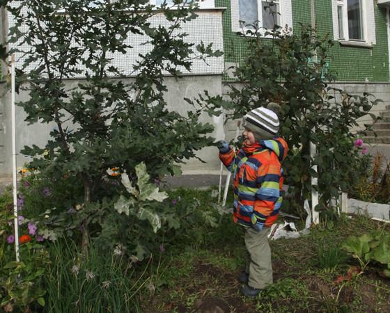 Маленький дуб на ул. Ломоносова, 115.