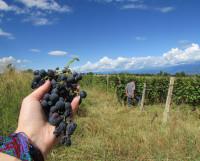 Из 400 сортов винограда, растущих в Грузии, самые главные — ркацители и саперави.