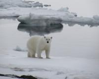 Многие животные приспособились к погодным условиям Арктики. Человеку порой сделать это труднее. Фото Андрея Сторожилова