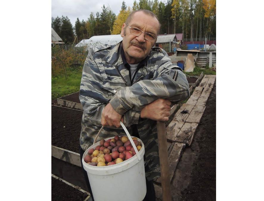 Картошку стаканами собираем