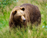 медведь-m