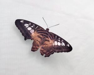 Обломанные крылья, как оказалось, нормальное явление для бабочек.
