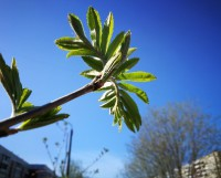 Благодаря солнечной радиации распускаются местные пальмы — листья рябинки.