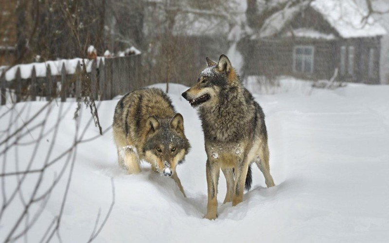 Волков больше нет